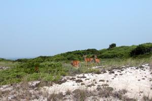 White Tailed Deer on Fire Island